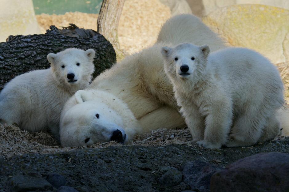 Eisbären-Zwillinge erhalten Namen und erkunden zum ersten Mal die Außenanlage